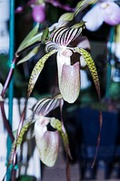 A pair of exotic paphiopedium orchids