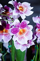 Cluster of pink and white orchids