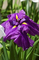 Close-up of a purple iris