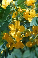 Close-up of the flowers on a scrambled egg tree