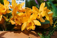Bright yellow cattleya orchids