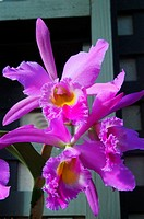Bright purple cattleya orchids