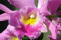 Close-up of a pink and yellow cattleya orchid