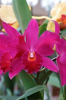 Hot pink cattleya orchid