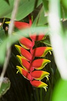 Red and yellow hanging heliconia among green leaves