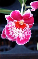 Close-up of a bright pink and white orchid