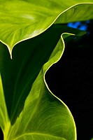 Close-up of a green leaves, edge of leaves contrasting against dark background