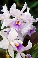 Cluster of white and purple cattleya orchids