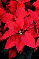 Close-up of bright red Poinsettia