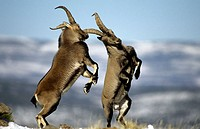 Spanish Ibex (Capra pyrenaica). Spain. Males fighting in rut.  I.U.C.N. vulnerable.  Lives in mountainous areas of Pyrenees and central and southern S...