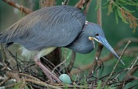 On nest with egg _Common inhabitant of salt marshes and mangrove swamps of the east and gulf coasts. Rare inland but has bred in North Dakota and Kans...