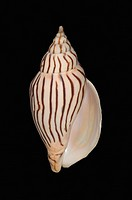 Studio shot of a seashell on black background