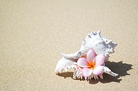 White murex shell on sand with pink plumeria in opening