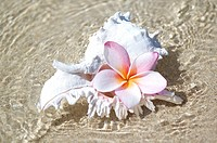 White murex shell in shallow ocean water, with pink plumeria in opening
