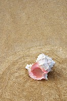 White murex shell with pink opening, in shallow ocean water, on sandy beach