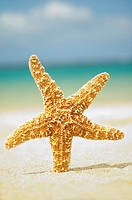 Large orange seastar standing in sand, ocean blurred in background