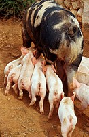 Domestic, Pigs, sow, nursing, piglets, Majorca, Balearic, Islands, Spain,