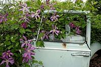 Car, wreck, with, Clematis, ´Margot, Koster´, Clematis, viticella,