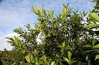 Cherry, Laurel, ´Schipkaensis, Macro´, Prunus, laurocerasus,