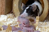 Laboratory, Mouse, with, youngs, 2, days, Mus, musculus,