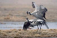 Common, Cranes, pair, mating, Lake, Hornborga, Sweden, Grus, grus,