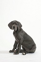 Great, Dane, puppy, 10, weeks,