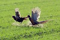Game, Pheasants, males, Lake, Neusiedl, Austria, Phasianus, colchicus,