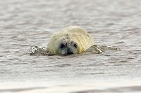 Grey, Seal, young, England, Halichoerus, grypus,