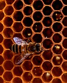 Honey, Bees, on, honeycomb, Apis, mellifera,