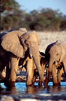 African, Elephants, cow, with, calf, at, waterhole, Etosha, national, park, Namibia, Loxodonta, africana