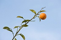 ´Orange fruit on tree against blue sky, low angle view´