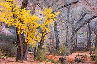 Brilliant yellow cottonwood leaves hold on through the final days of autumn in Moonflower Canyon near Moab, Utah, USA