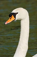 Mute swan portrait on water (Cygnus olor)