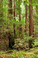 Redwoods, Muir Woods National Monument, Marin County, California. USA