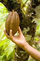 Cocoa beans while climbing to 'El Yunque' peak (569 m.). Baracoa. Guant&#225;namo province. Cuba