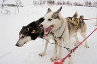 Sledge dogs in Storlien. Sweden