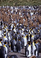 South Georgia, Island group, south Atlantic, gold harbor, penguin, king penguin, Aptenodytes Patagonicus, penguins, yo