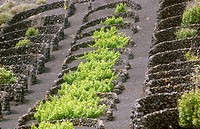 Vineyards.  La Geria, Lanzarote. Canary Islands. Spain