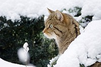 Wildcat in snow-covered wood