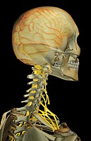 The nerve supply of the head and neck