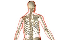 The bones of the upper body (thumbnail)