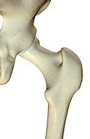 The bones of the hip