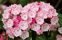 Pink sheep laurel