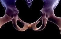 The bones of the pelvis