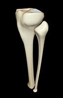 The bones of the leg