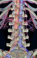 The blood supply of lumbar vertebrae