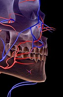 The blood supply of the jaw