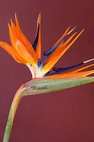 Close-up of bird-of-paradise Flower, Single Object, Object
