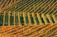 Vineyard in autumn. Baden-Württemberg, Southern Germany, Germany, Europe