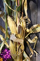 Bundle of dried corn leaning against barn wall, Canada, Ontario
